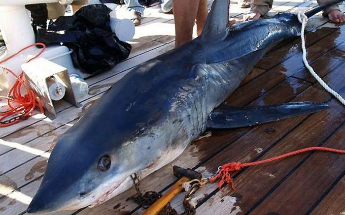 В Египте продолжаются нападения акул на туристов (15 фото)