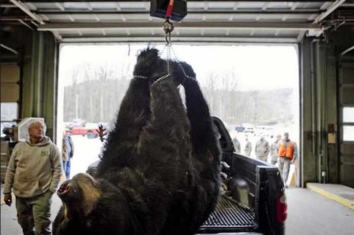 Охота на черного медведя в Нью-Джерси