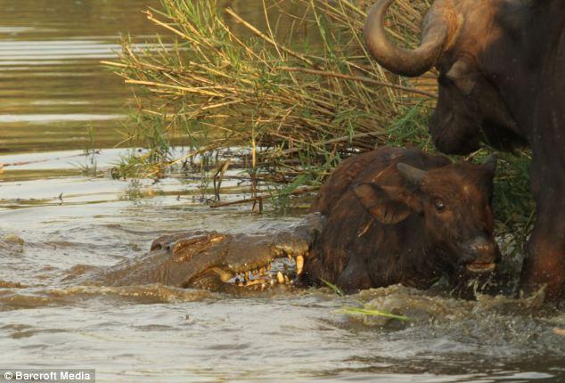 Последние моменты жизни буйвола (4 фото)