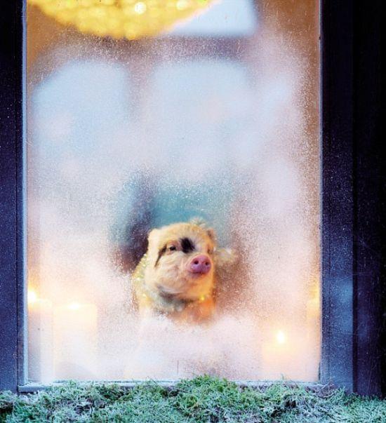 Позитивные мини-свинки (11 фото)