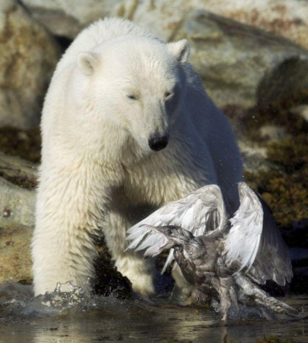 Медведь и чайка