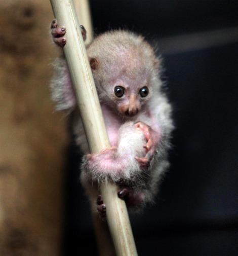 Новорожденный потто в зоопарке Цинцинатти