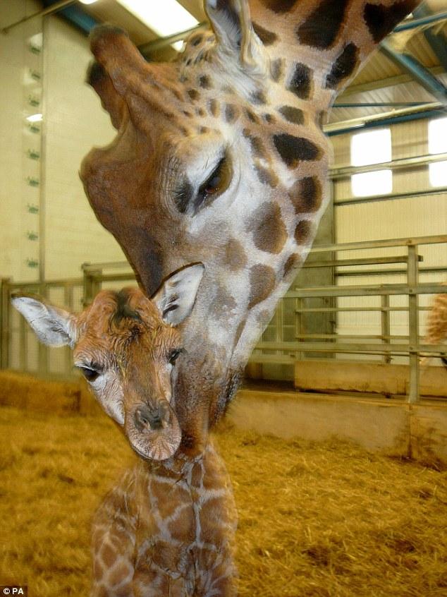 Тайная беременность жирафа