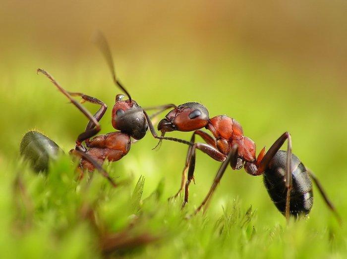 Удивительная макросъемка муравьев (13 фото)