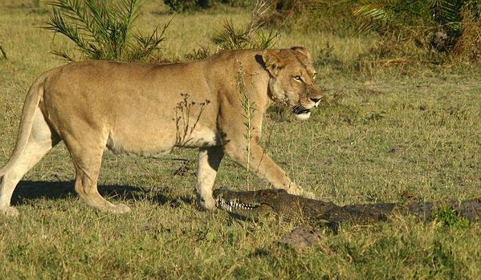 Львицы и крокодил (9 фото)
