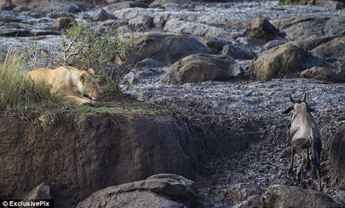Львица зашла на чужую территорию