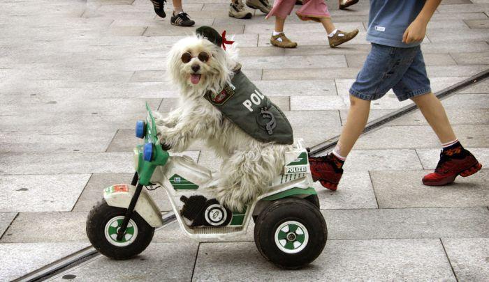 Собаки в забавных костюмах (38 фото)