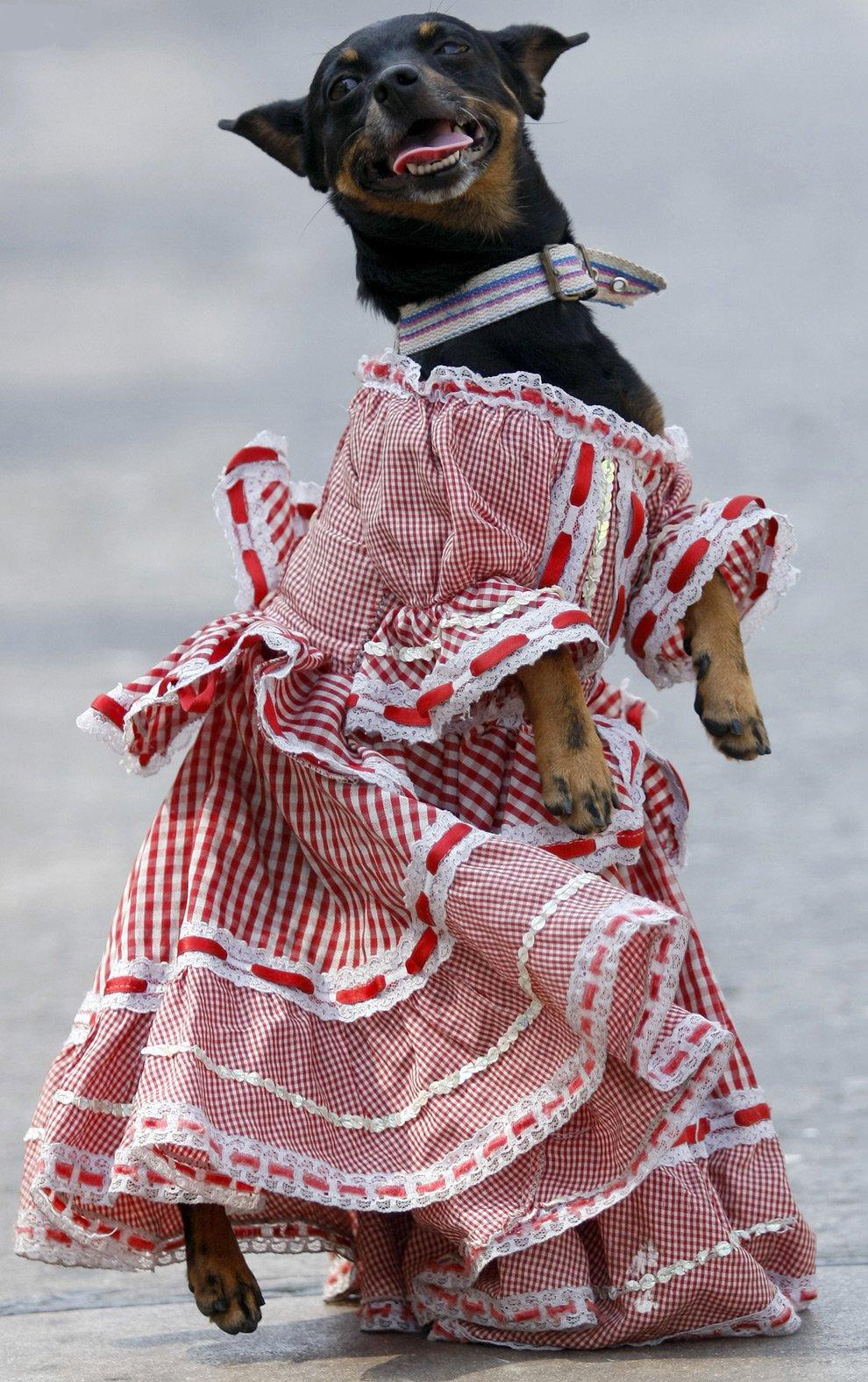 Сторона, смешные собаки в одежде картинки