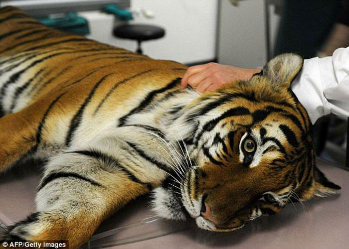 Оперция для спасения тигра