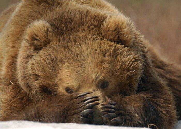 О лапах бурых медведей