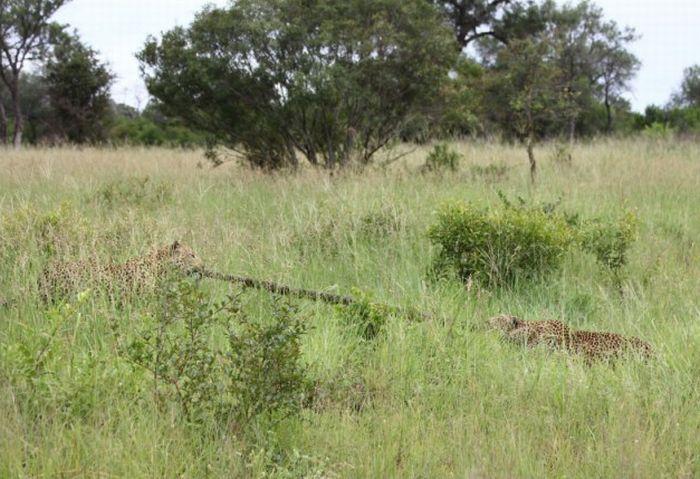 Как леопарды не поделили питона