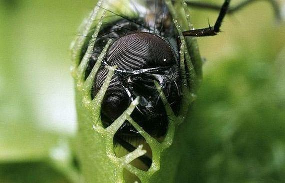 Хищные цветы пожирающие насекомых