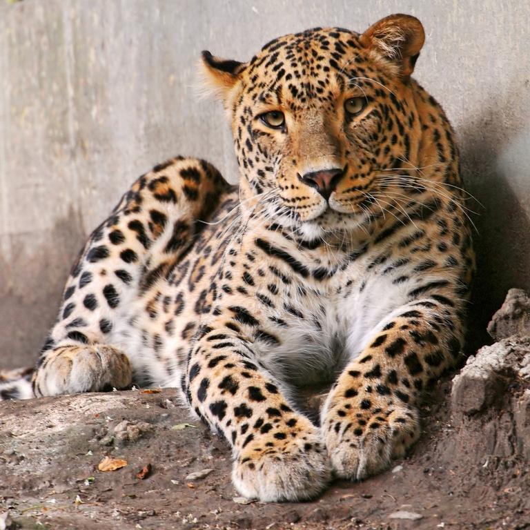 Леопард, фото леопардов.
