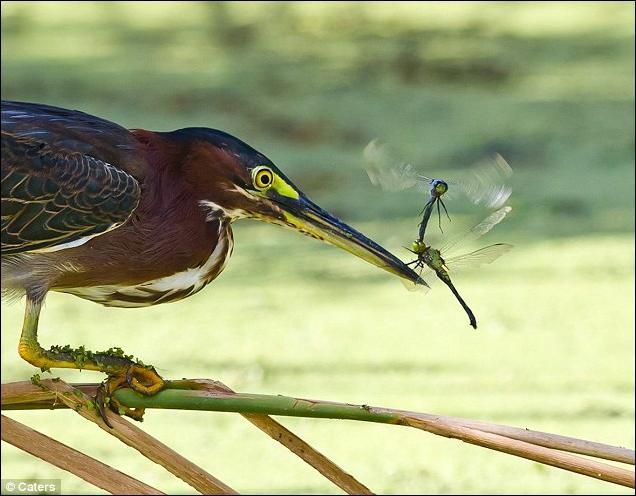 Охота цапли на стрекоз