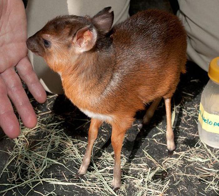 Детеныш королевской антилопы