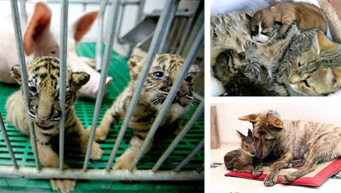 Необычные усыновления чужих детенышей животными