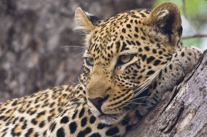 Интересное о леопардах