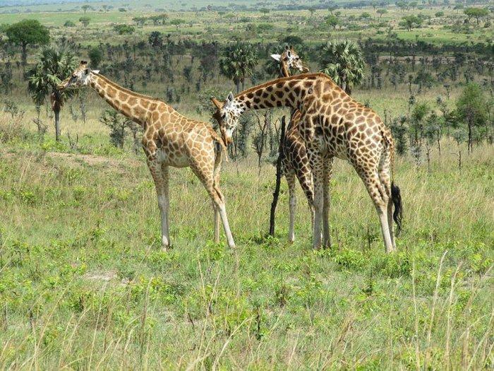 Перевозка жирафов (7 фото)