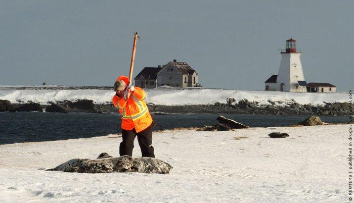 Ежегодная охота на детенышей длинномордого тюленя