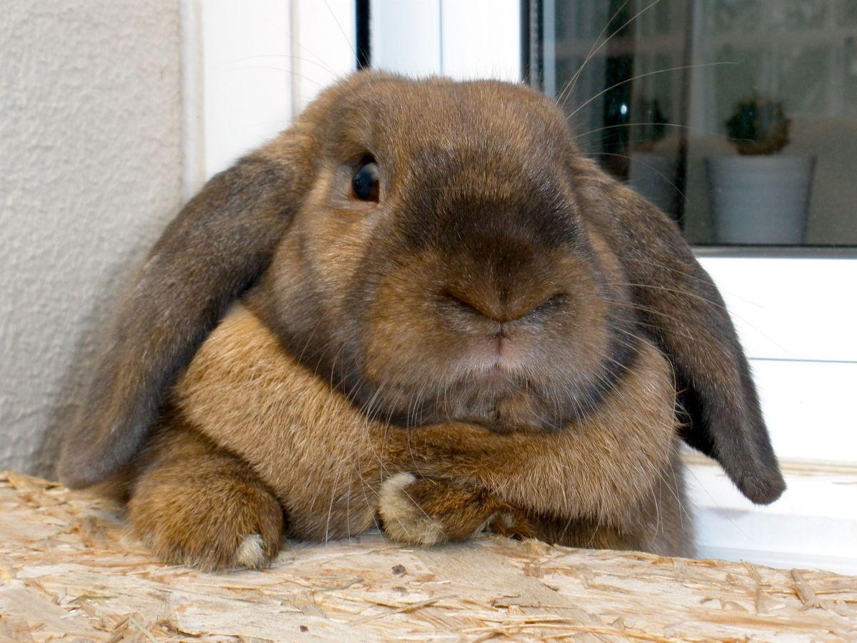 кролик баран декоративный фото все рекомендации, даже