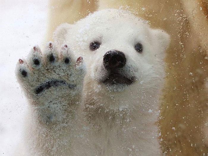 Белый медвежонок в зоопарке Дании (8 фото)