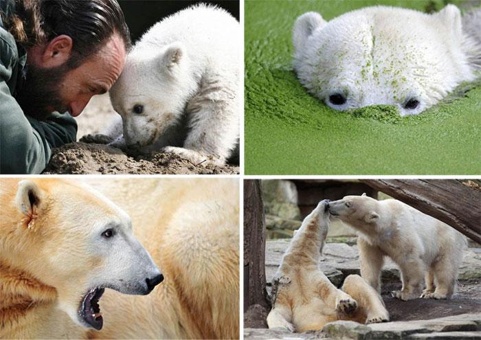 В Берлинском зоопарке умер Кнут (15 фото)