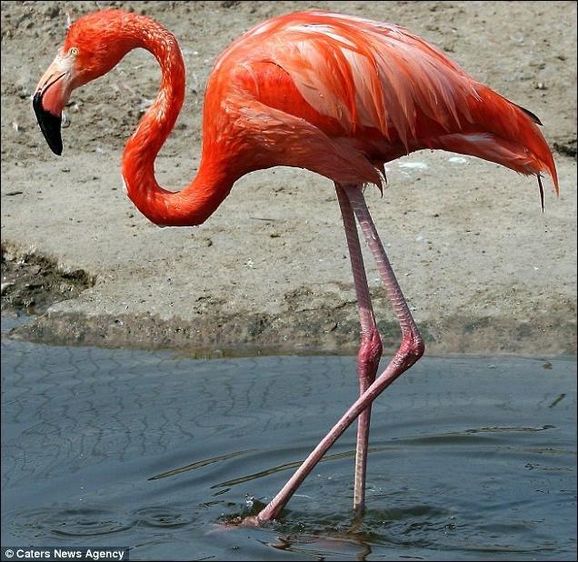 Забавный фламинго