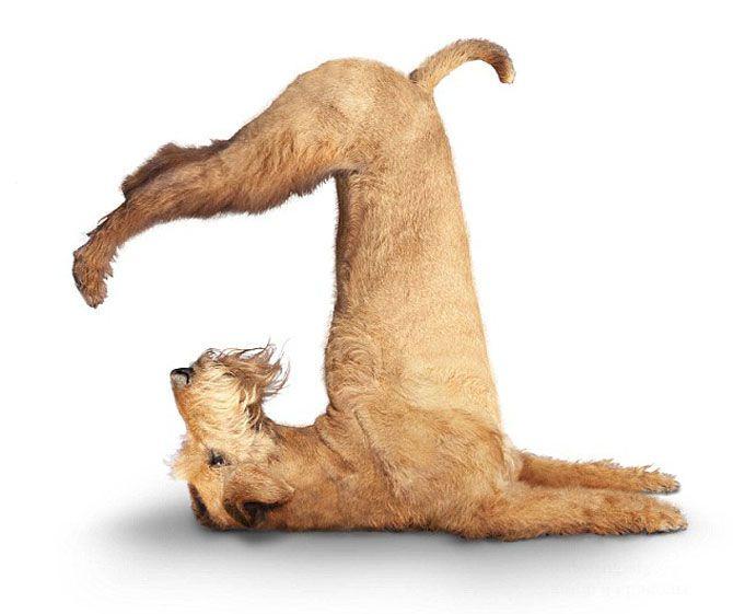 Йога-собаки