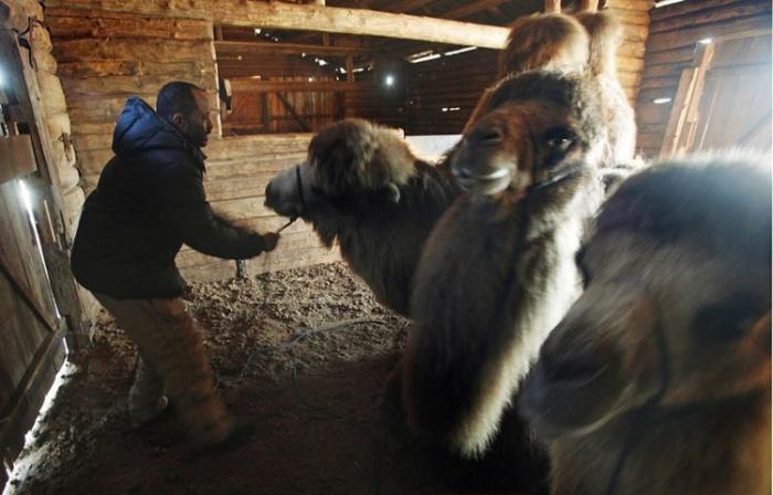 Верблюды в снежной Норвегии