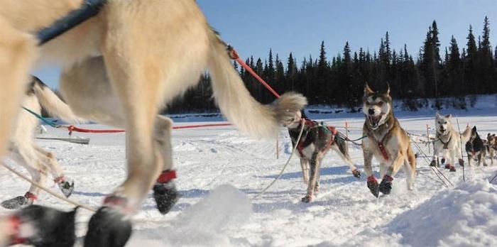 Ежегодные гонки на собачьих упряжках в Аляске