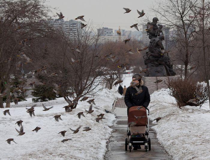 Москву атакуют стаи птиц!