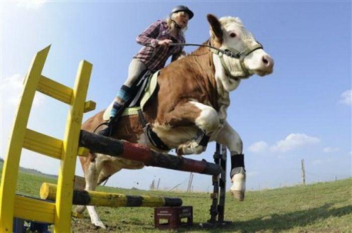 Обученный бык (4 фото)