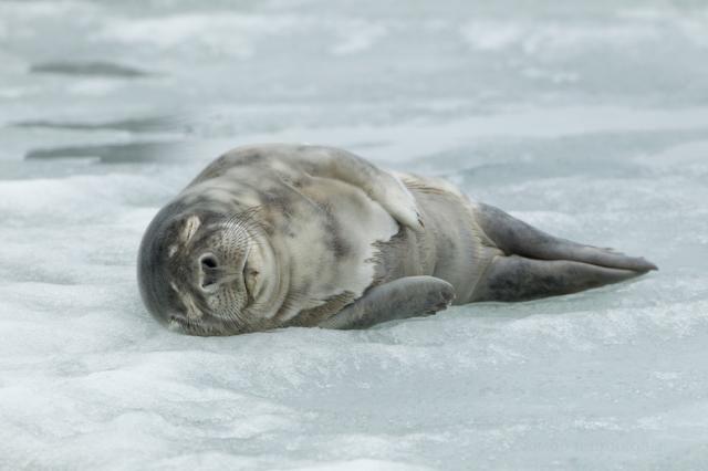 День одного тюленя
