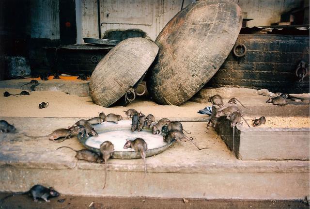 Крысиные храмы в Индии