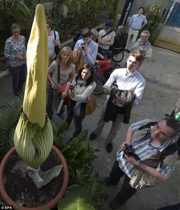В Швейцарии расцвел плохо пахнущий цветок