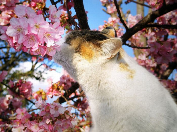 Милые котики на цветущих вишнях