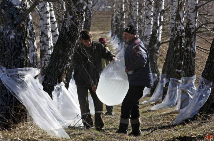Сбор березового сока в Белоруссии