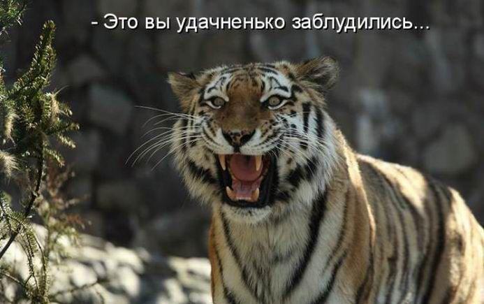 Открытки, картинки с тигром с надписей