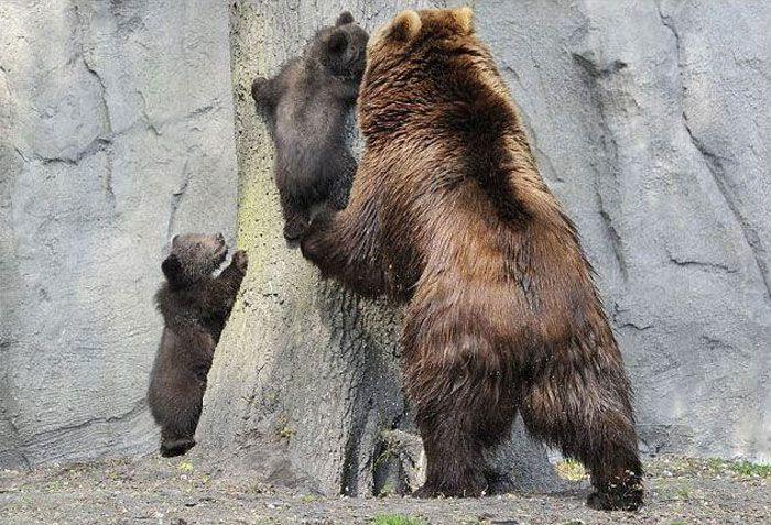 Медведица учит медвежат (4 фото)