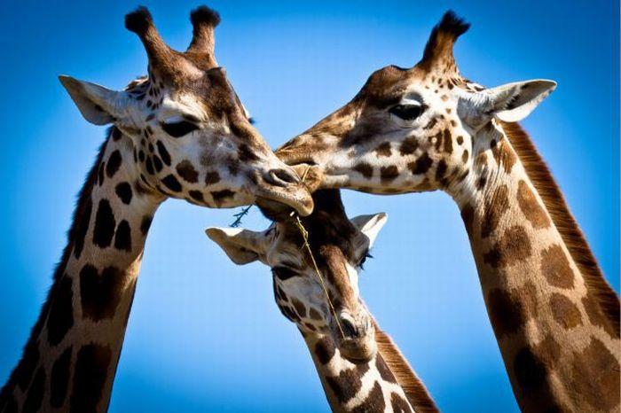 после жирафы-мои друзья картинки китайцы мудро связывают