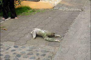 Ленивец перебирается через дорогу