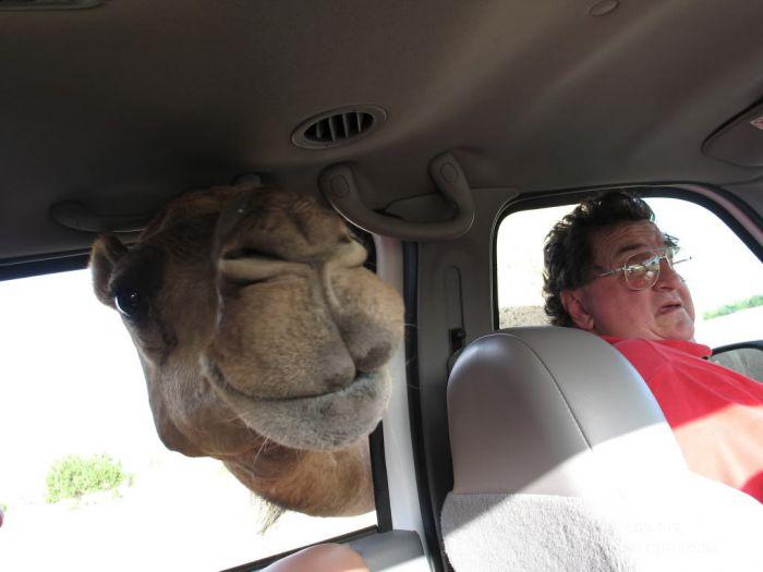 Истинное лицо верблюда (19 фото)