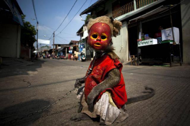 Дрессированные обезьянки в Индонезии