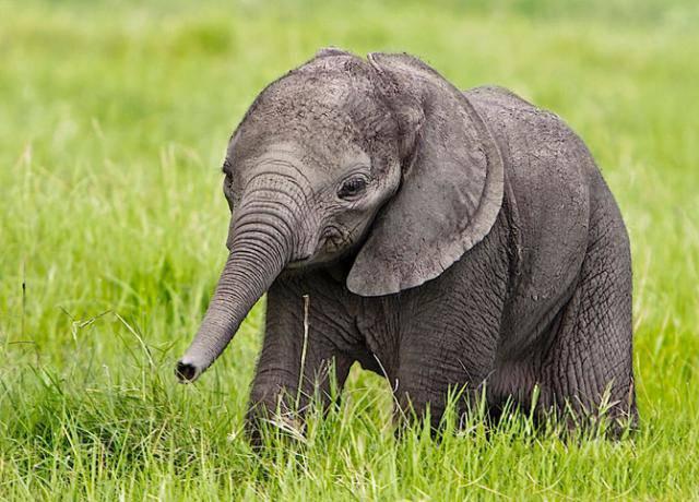 Прелестный маленький слоненок