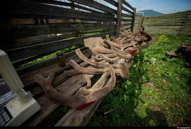 Резка пант у маралов в Казахстане
