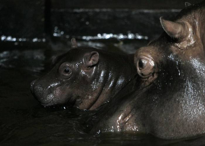 Новорожденный гиппопотамчик в зоопарке Праги (9 фото)