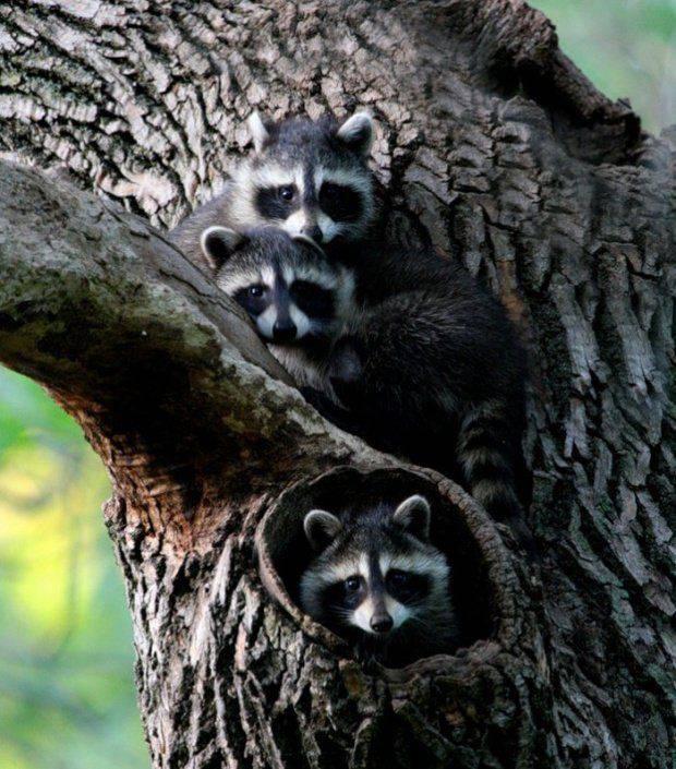 Редкое природное явление - тройняшки (20 фото)