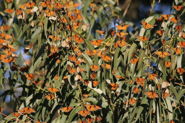 Миграция бабочки