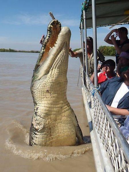 Жертвы крокодилов (35 фото)