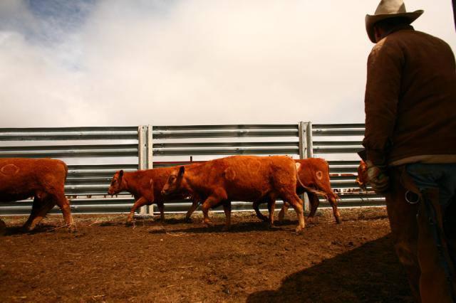 Клеймление скота на ранчо